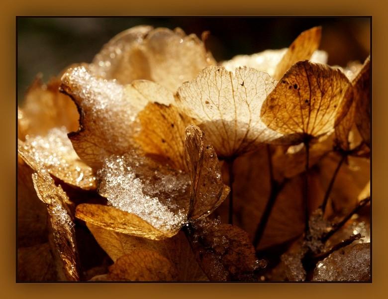 Hortensia voorzien van ijs - Deze is nog gemaakt met de Olympus.<br /> <br /> <br /> Allen weer bedankt en zie wel weer.<br /> Een fijn weekend en