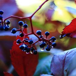 Herfstkleuren wingerd
