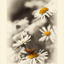 Distelvlinder op margriet