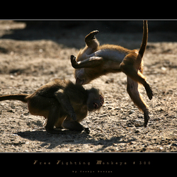 Monkey Freefight - FOTO 300