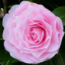 Japanse Camellia