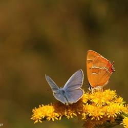 Icarusblauwtje & Sleedoornpage