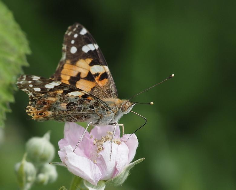 Vlindertijd - Mondjesmaat komt  het  op gang