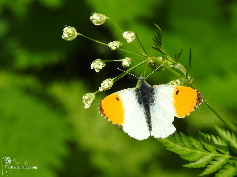 Vlinder (Oranjetipje) - Wauw deze vlinder had ik nog nooit gezien, prachtig.<br /> Eindelijk zat die stil, tja voetje vooruit en weg was die weer.<br
