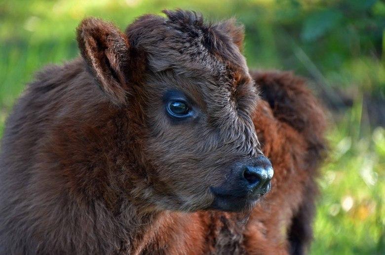 Jong - Ongeveer een week oud, het jongste van de kalfjes die deze zomer zijn geboren in Boswachterij Dorst.<br /> Je hebt gelijk Corrie.. het is een