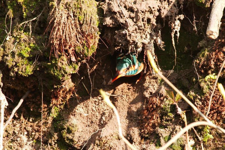 Nest holte klaar - Daar is het nest in de sloot midden in de stad. Mannetje heeft gegraven en de vrouw heeft het geïnspecteerd. Nu nog de eieren en da