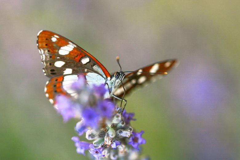 IJsvogelvlinder - Wat een schitterende vlinder. Niet eens heel bang. Maar o zo beweeglijk. Zeker midden op de dag. Maar eindelijk gelukt. Zeldzame ver