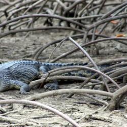 Hongerige krokodil