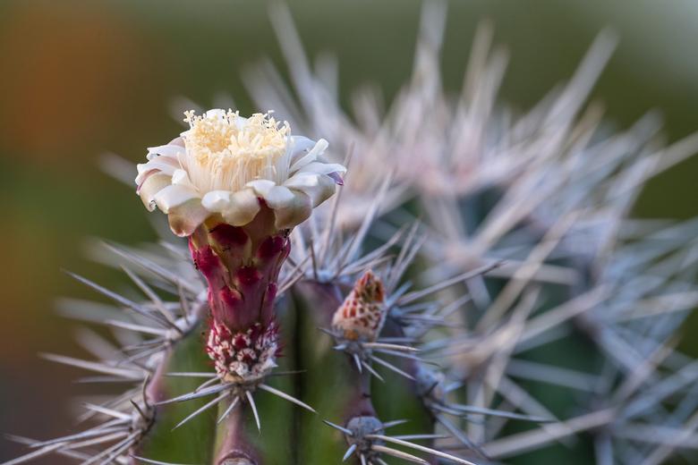 Cactusbloem -