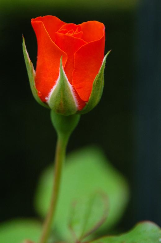 """Roos - Een roos voor al die helden die toevoegen aan de evolutie van onze soort, in positieve zin. Bedankt, ook namens mijn dierbaren <img  src=""""/imag"""