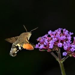 kolibrievlinder in de ..