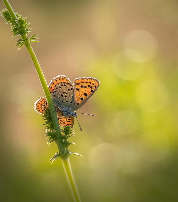 Zomer - Dit vlindertje kon ik op een vroege ochtend vastleggen net  voordat het het luchtruim koos. Zo met gespreide vleugeltjes vond ik het diertje v