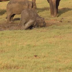 omgevallen babyolifant in modder