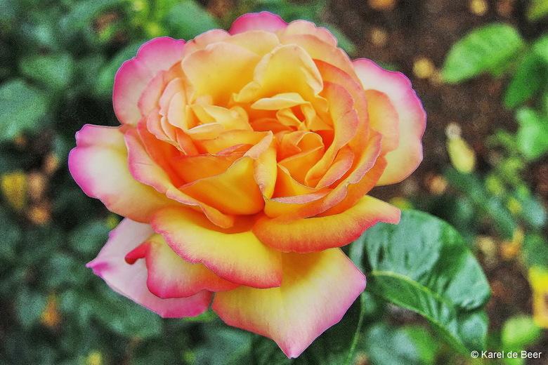 Blenheim 14 - Rose of Blenheim 1