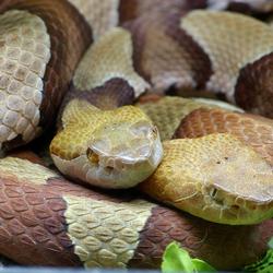Snaketwins