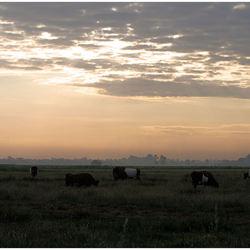Koeien in de ochtend