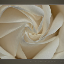 """""""Heart of the Rose"""""""