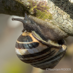 de slak vindt onderdak aan een Magnolia tak