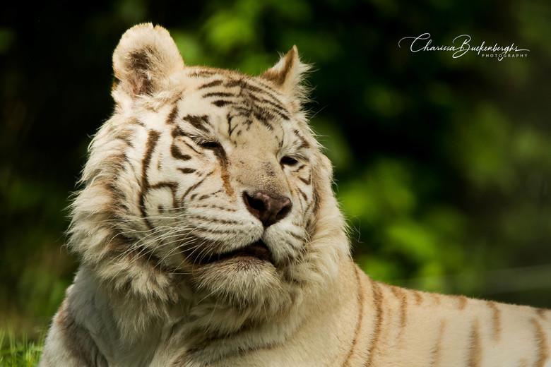 Witte tijger -