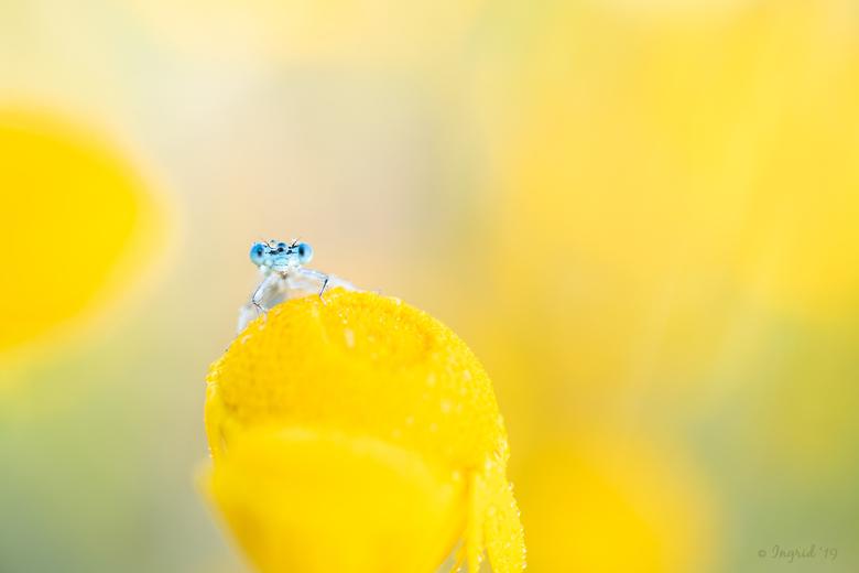 You, looking at me, looking at you - Een mooie zonnige ochtend, dauw, gele bloemen en een juffertje dat verstoppertje speelt, maar toch ook wel nieuws