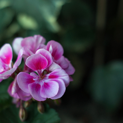 _DSC5690 geranium z