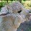 lachende alpaca