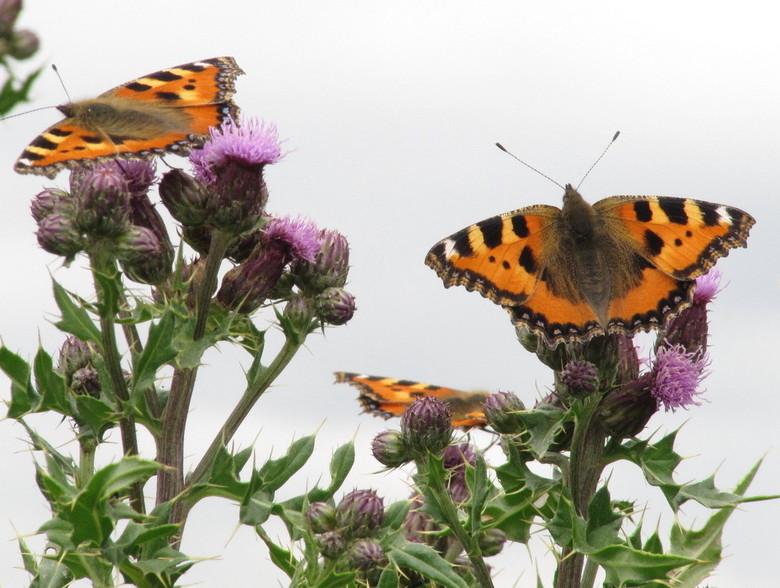 vlinders op distels - vlinders op distels