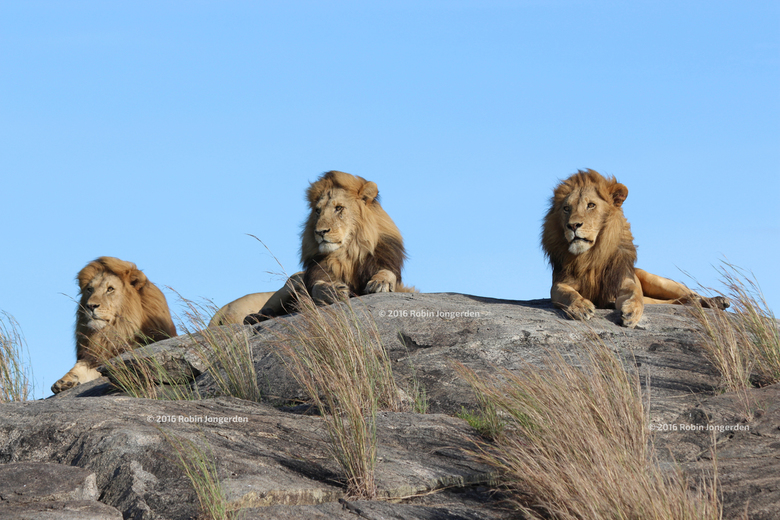 Lions on the rocks - 3 mannetjes leeuwen chillen op de rotsachtige stenen midden in Serengeti National Park in Tanzania.<br /> <br />