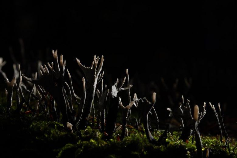 Geweizwammen in het duistere bos - Mooie geweizwammen op een boomstronk. Flitser aan achterzijde geplaatst.