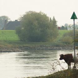 Koe kijkt over de IJssel
