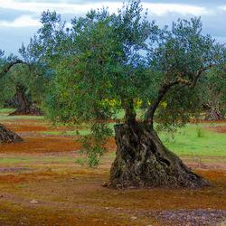 Zafra olijfbomen 1