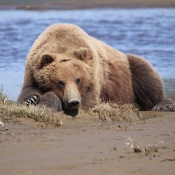 Grizzly , Katmai NP