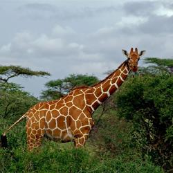 Netgiraffe, Kenia
