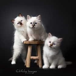 Minou Bloe Sacred Birman kittens