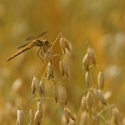 Libelle op graan
