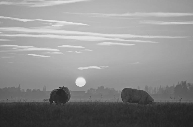 schapen  - schapen in mist