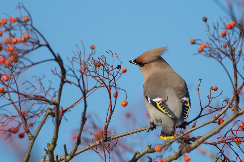 Pestvogel - Pestvogel of de Bohemian Waxwing. Deze zat afgelopen maand in de Hilversumse meent. Zich vol etend aan besjes.