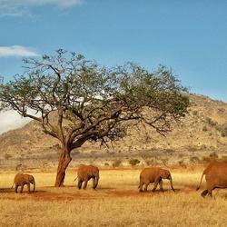 Elefants in Kenya