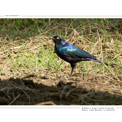Rüppell's Long-tailed Starling, Kenia