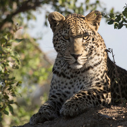 Luipaard Botswana Shinde