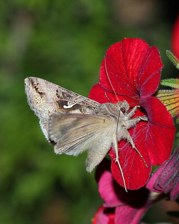 nachtvlinder - Gisteravond nog even een nachtvlinder die zich tegoed deed aan n bloemetje proberen vast te leggen. AF lukte al niet meer vanwege de sc