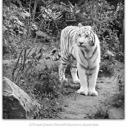 Witte tijger---------------------DSC02110