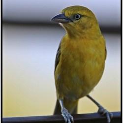Vogeltjie