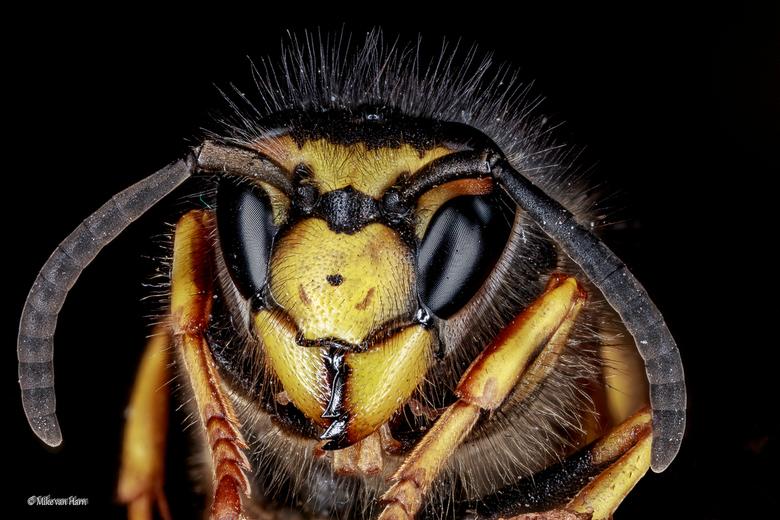 Kijk eens in de poppetjes van mijn ogen - Hier even een portret van een wesp op twee maart van dit jaar heb gemaakt.<br /> <br /> Het is een stack v