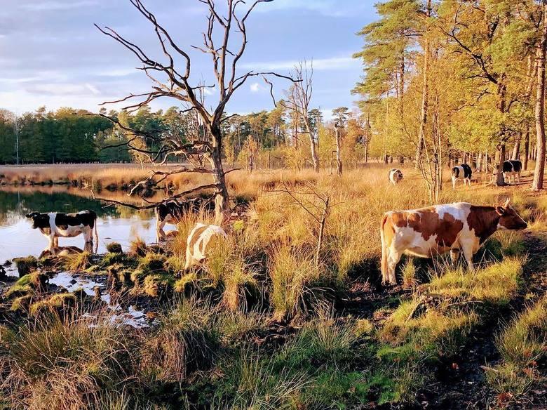 Koeien Lunsven Borger - Koeien in een natuurgebied in het bos bij Borger