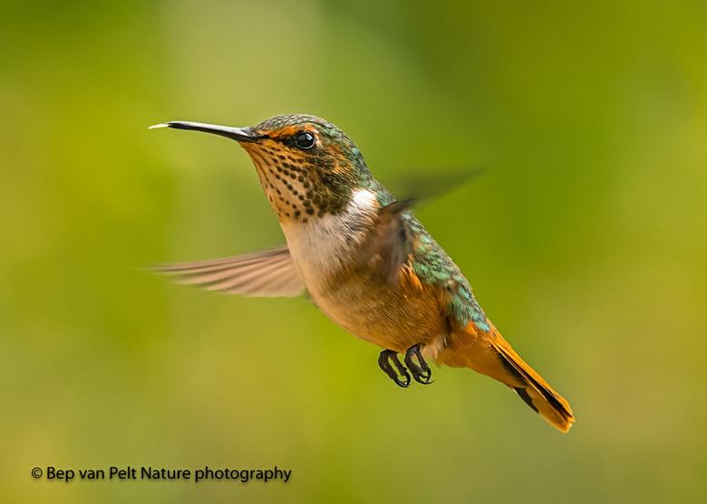 Fonkelende kolibrie - Dit is de kleinste kolibrie van Costa Rica en wordt verder allen aangetroffen in Panama.  Fonkelende kolibrie, Scintillant Hummi