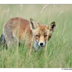 Foxy moves