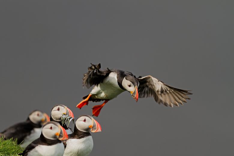 Papegaaiduikers, Ingofshofdi, Ijsland
