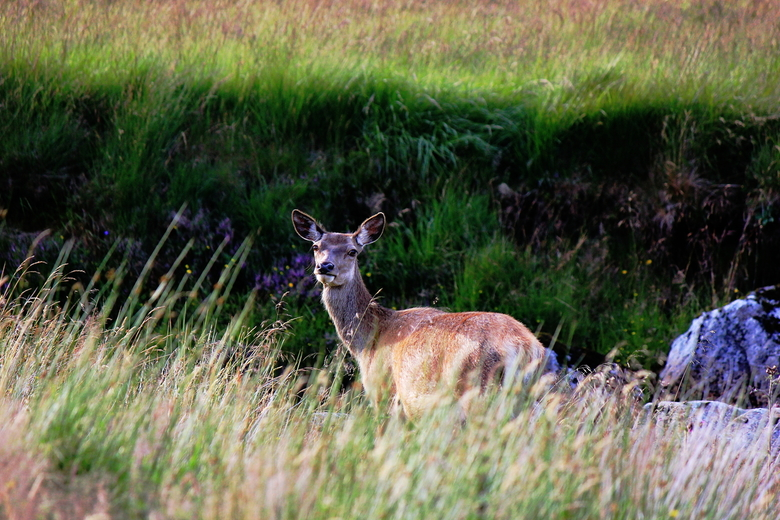My deer friend - Kingshouse (Glencoe) - Scotland   zomer 2016