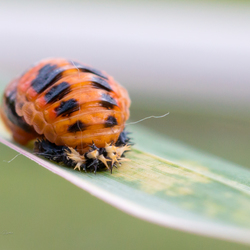 Nymph of Ladybird